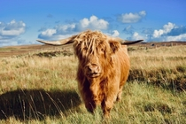 A Highland cow I photographed on the Isle of Skye