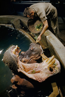 A hippopotamus and his mate line up at tanks edge at feeding time March  x