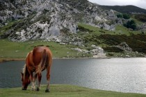 A horse eats grass beside Ercina Lake Covadonga - Asturias - Spain
