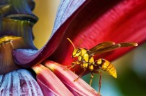 A huge wasp measuring  inches in length visiting a banana tree in a front yard John Matzick USA  Sony World Photography Awards