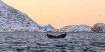 A humpback whale diving in the arctic waters of a Norwegian fjord  Photo by Andy Farrer