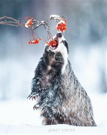 A hungry badger eating some berries in the snowy forest