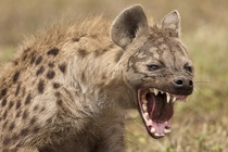 A hyena showing its teeth