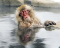 A Japanese snow monkey relaxes in a hot spring in the Jigokudani valley in northern Nagano Prefecture Japan