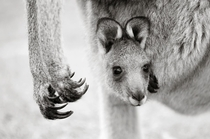 A joey Eastern Grey Kangaroo Macropus giganteus pokes a head out from its mothers pouch Brent Lukey