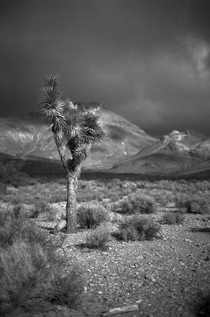 A Joshua Tree in Death Valley NP California