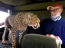 A Kenyan Tourist Comes Face to Face with a Cheetah Who Leaped into His Jeep and Got too Close for Comfort