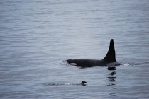 A Killer Whale and Puffin swimming in Kenai Fjords Alaska