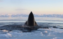 A killer whale surfaces through a small hole in the ice near Inukjuak in Northern Quebec Canada