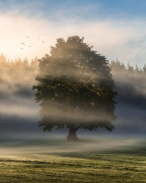 A large maple on a foggy morning Vancouver Island Canada  IG seanhphotography