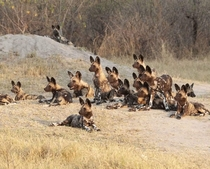 A large pack of attentive Painted Wolf Lycaon pictus puppies  credit Botswana Predator Conservation Trust