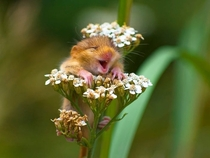 A laughing doormouse in Monticelli Brusati Italy