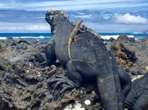 A Lava Lizard on top of a Marine Iguana both exist only on the Galapagos Islands