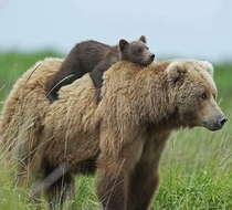 A Lazy bear On a Bear
