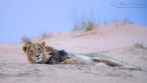 A lazy Kalahari lion lounges on a sand dune