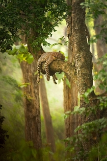 A leopard resting its head on a tree branch photographed by Sudhir Shivaram
