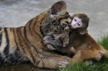A lesson on Trust and Friendship from a Rhesus Macaque Macaca mulatta and a Tiger cub