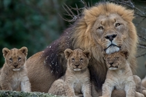 A lion family portrait  Photographed by OldGear