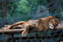 A lion sleeps at the Caricuao Zoo