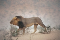 A lion walks against the wind in Kalahari Gemsbok National Park South Africa  Chris Johns