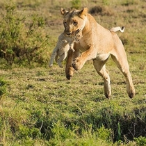 A lioness jumping over a ditch with her cub