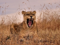 A lioness roars a warning to her cubs in Kenyas Masai Mara National Reserve photo by Linda Porter