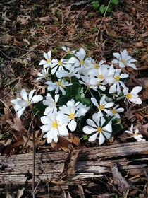 A little bloodroot to go with the trout lilies