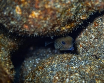 A little boxfish I came across hiding among the rocks during a night dive in Hawaii These little guys look hilarious and I swear their swim looks more like a penguin waddle than an actual swim - If you like this I have plenty more like it on my Instagram