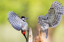 A Little Owl defends its feeding position from a Great spotted woodpecker