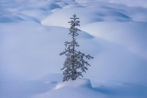 A little sapling survives harsh winter conditions in Yoho National Park British Columbia Canada
