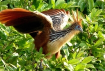 A living fossil The Hoatzin Opisthocomus hoazin