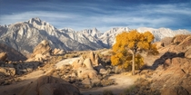 A lone Fall coloured Cottonwood tree in front of the Eastern Sierras Alabama Hills California