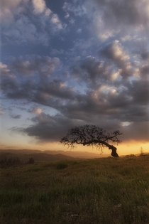 A Lone Oak Tree in the Santa Ynez Valley California