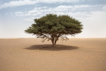 A lone tree in a massive wasteland Tree is maybe  ft high Morocco Sahara Desert