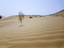 A lonely bush in United Arab Emirates