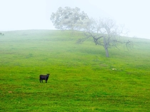 A lonely cow amidst the fog Santa Ynez Valley CA