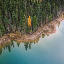 A lonely gold Tamarack on the shore of Hungry Horse Reservoir in Montana