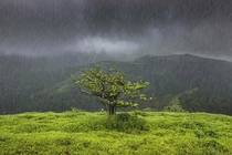 A lonely tree gets drenched in the pouring rain in Maharashtra India