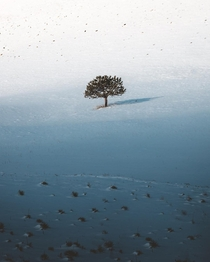 A lonely tree surrounded by snow and distant tufts of grass Boulder CO  erik_young