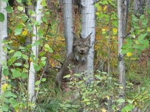 A lynx I saw outside of Dawson YT x