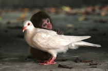 A macaque and a dove