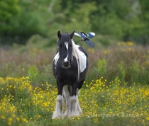 A Magpie bird and a Marsh Pony