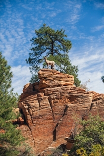 A majestic Bighorn Sheep perched atop a rock in Zion National Park