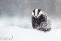 A majestic photo of European badger in the snow