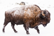 A male Bison American Buffalo trudges through the snow in Yellowstone National Park Photo credit to Lloyd Blunk