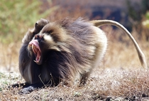 A male gelada Theropithecus gelada bares his fangs in a threat display while being groomed by a female Ethiopian Highlands