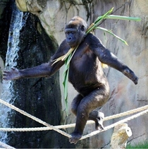 A male gorilla has taught himself how to walk a tightrope to try and impress the female at Taronga Zoo Sydney Australia