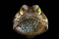 A male jawfish mouthbrooding eggs Steve Kovacs