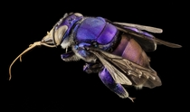 A Male Purple Orchid Bee from Guyana by Sam Droege  x-post rHI_Res
