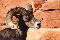 A Male Ram Bighorn Sheep with many battles Zion National Park Utah